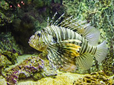 Lion fish WW 1112 100