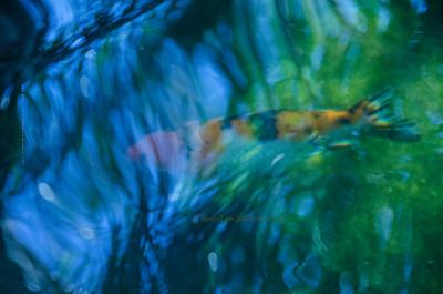 Koi  blue water 68