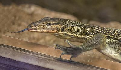 Lizard tongue out 9003 cf