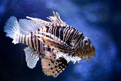 Striped lion fish  in blue water 9805