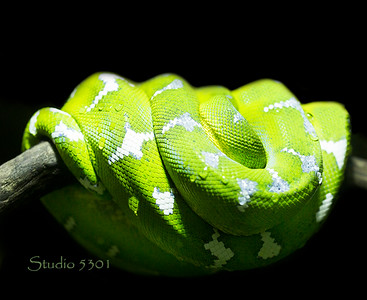 Emerald Tree Boa_snake 3193PatriciaLam