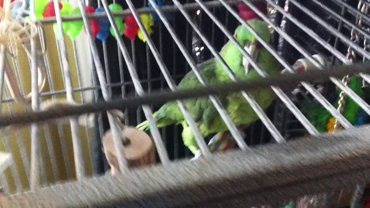 Marley, the yellow-naped Amazon parrot