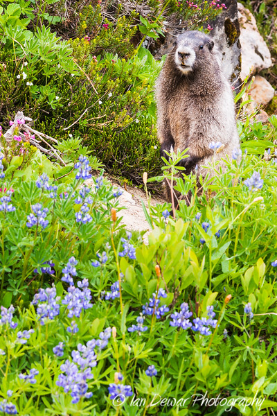 Marmot in the Flowers