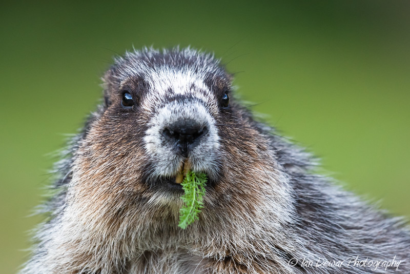 Hoary Marmot Snacking