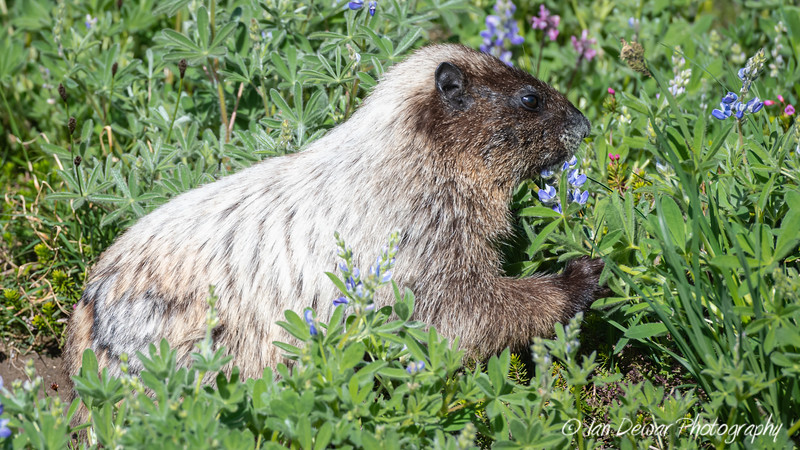 Hoary Marmot at Mount Rainier