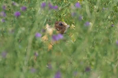IMG_9540  Marmot in Lillooet
