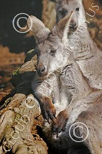 Kangaroo 00057 Sitting kangaroo, by Peter J Mancus
