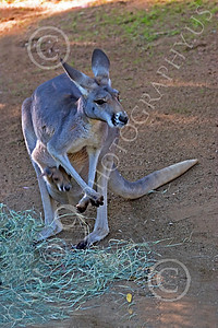 Kangaroo 00058 A mother kangaroo with a baby in her pouch, by Peter J Mancus