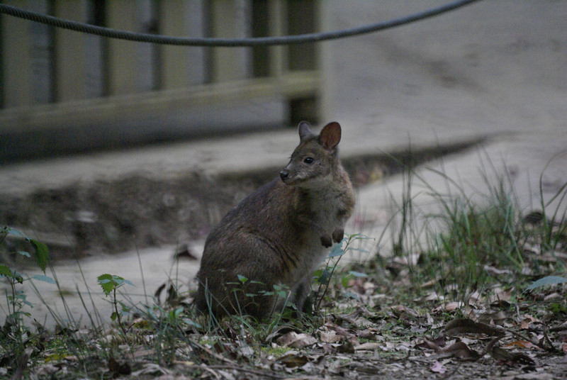 Red necked pademelon (Thylogale thetis)
