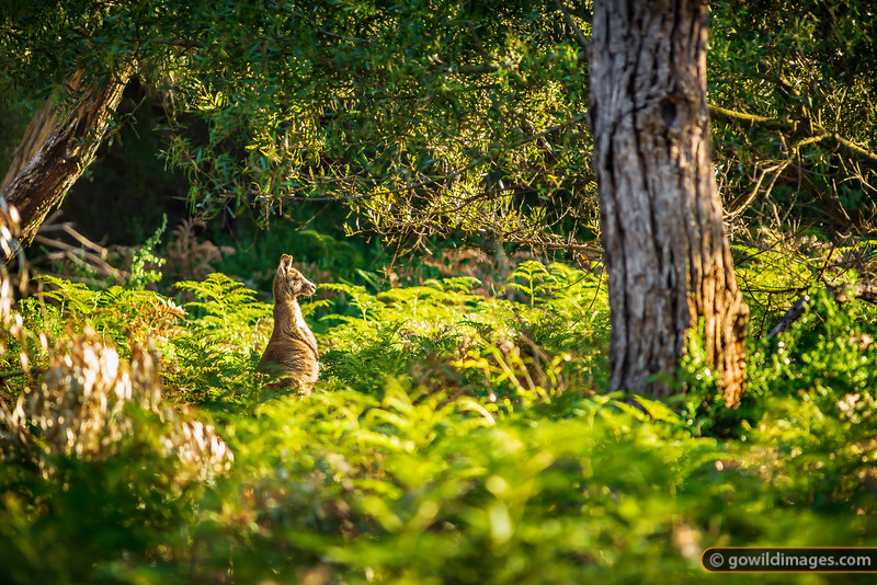 An Eastern Grey kangaroo, mesmerised by the early morning sun. The Lakes NP