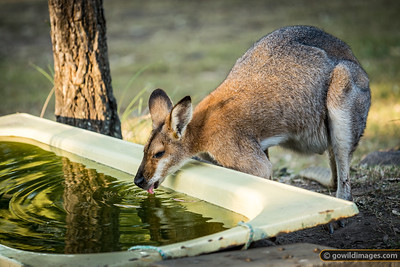 Male Bush Wallaby