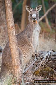 Eastern Grey kangaroo enjoying an early morning feed in Mt Eccles National Park