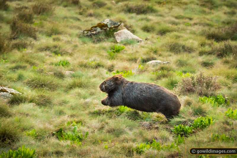 Flying Wombat