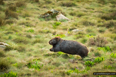Flying Wombat