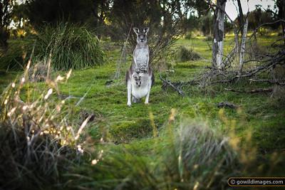 Eastern Grey Kangaroo and joey, Churchill NP