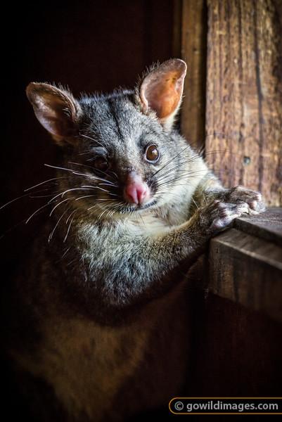 Possum Hide