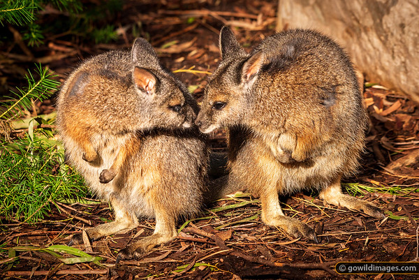 Tammar Wallaby Kiss