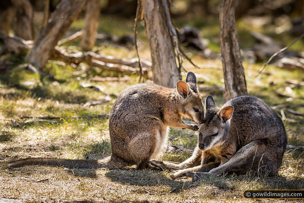 Wallaby Moment