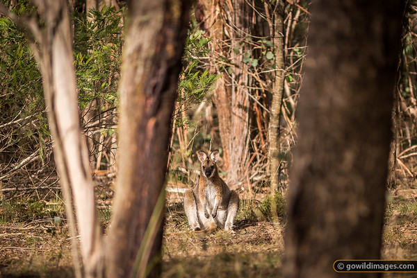 Red-necked wallaby sits back for a rest