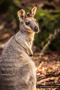 Western Brush Wallaby
