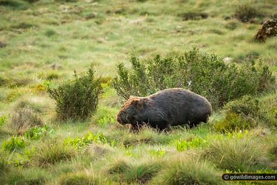 Where Wombats Roam