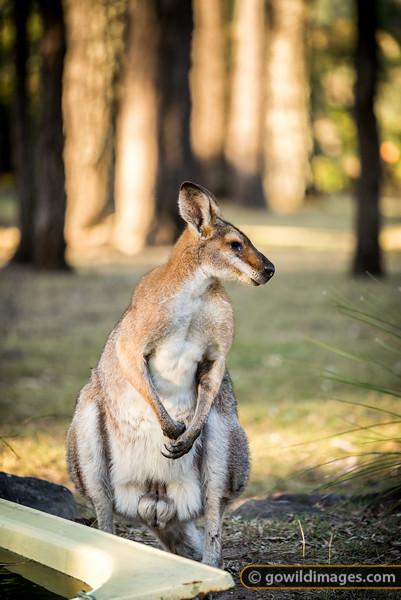 Male Bush Wallaby