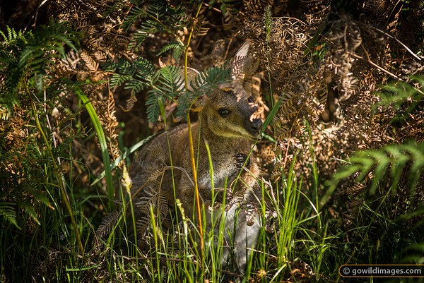 Male Bush wallaby feeding on grass at the summit picnic area, Mt Richmond NP