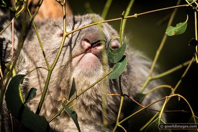 Koala Nose