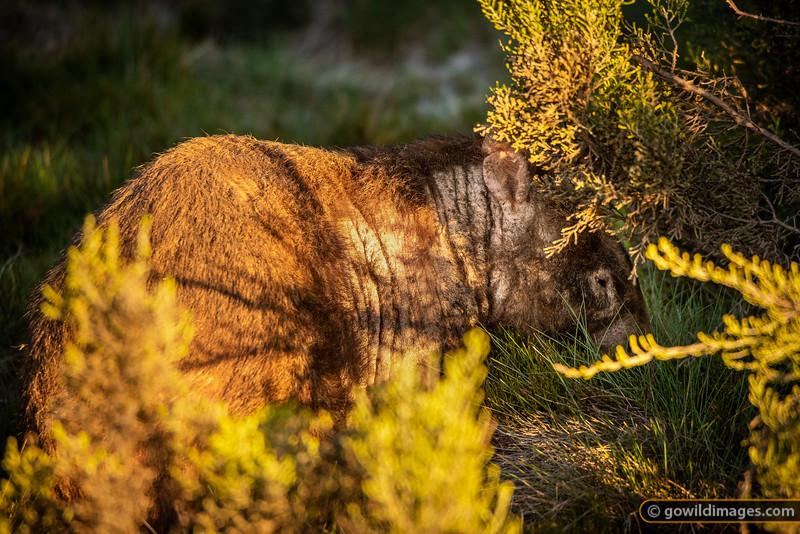 Wombat Mange