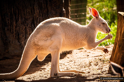 White Kangaroo Feeding