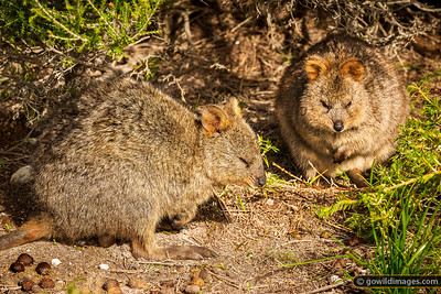 Quokka Couple