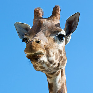 Inquisitive giraffe looking over a fence.