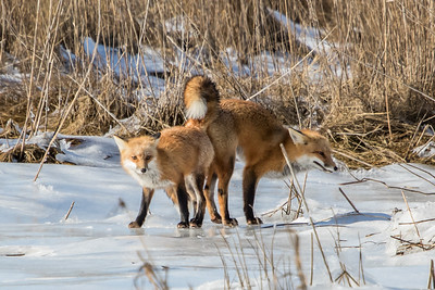 1-22-2016 Foxes and Owls 068