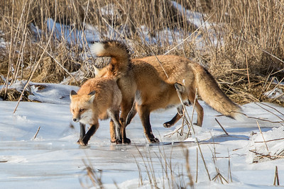 1-22-2016 Foxes and Owls 070