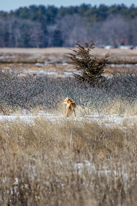 1-22-2016 Foxes and Owls 012