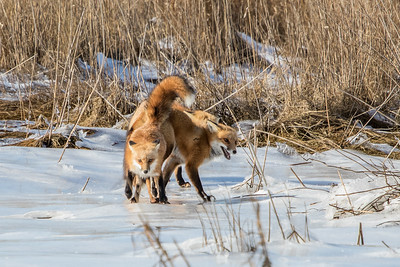 1-22-2016 Foxes and Owls 073