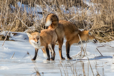 1-22-2016 Foxes and Owls 069