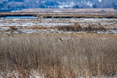 1-22-2016 Foxes and Owls 032