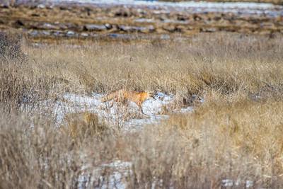 1-22-2016 Foxes and Owls 016