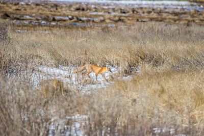 1-22-2016 Foxes and Owls 017