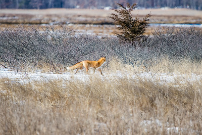 1-22-2016 Foxes and Owls 009
