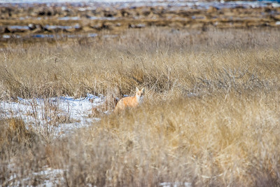1-22-2016 Foxes and Owls 019