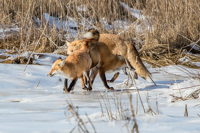 1-22-2016 Foxes and Owls 071