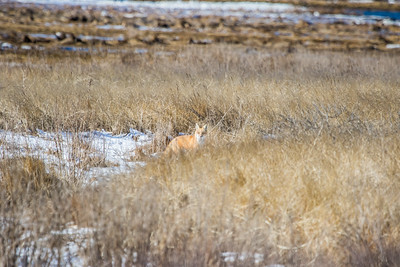 1-22-2016 Foxes and Owls 018
