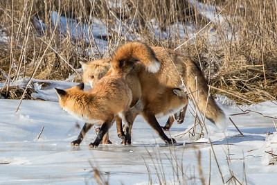 1-22-2016 Foxes and Owls 072