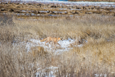 1-22-2016 Foxes and Owls 015
