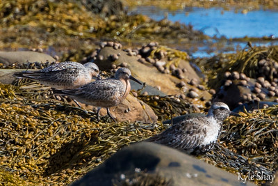 May 10th Black bellied plover Red knot Ring neck pheasants fighting