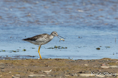 May 14th 2015 Greater Yellow Legs Rainbow Haven