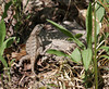 Eastern Fence Lizard<br /> Shenandoah Mountain