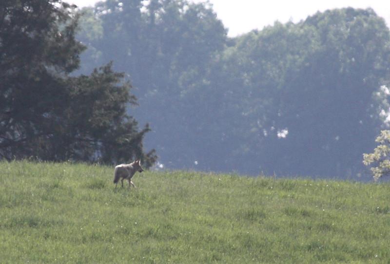 Coyote<br /> Linville, VA